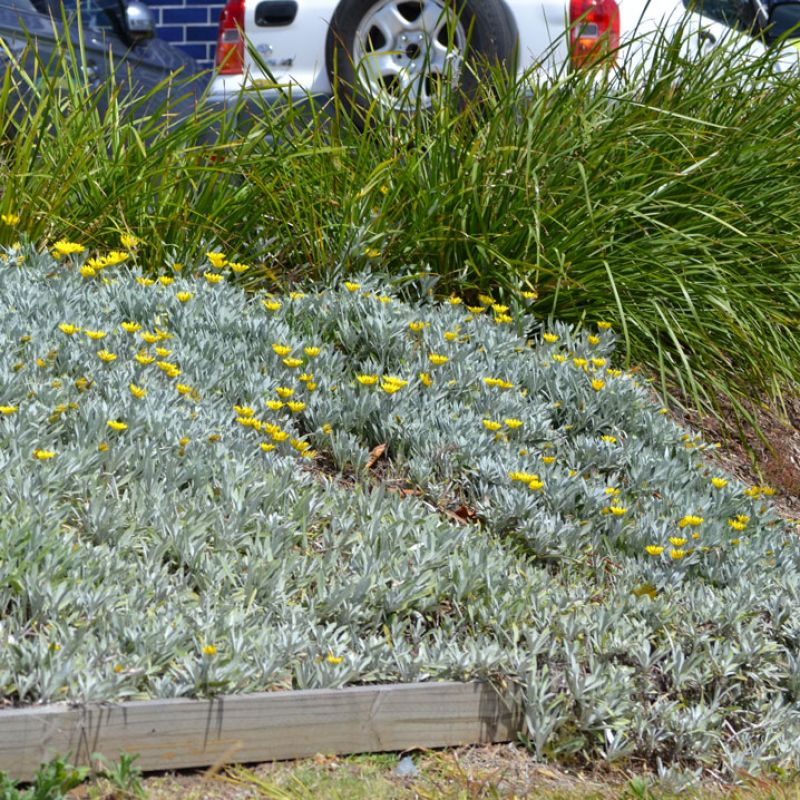 Low Growing Ground Cover: A Hardy Low Growing Groundcover