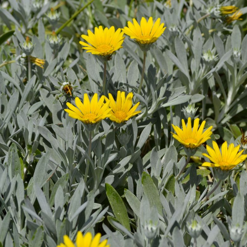 Gazania flowers for long periods over the warmer months of the year
