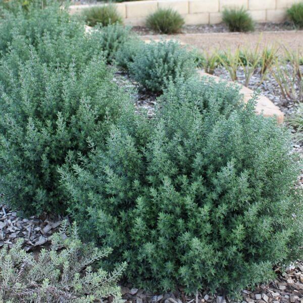Aussie Box as an informal hedge.