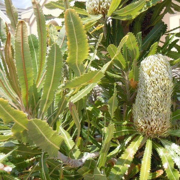 Banksia serrata have large beautiful candle shaped flowers