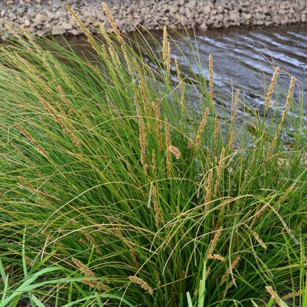 Carex appressa with its flowers seedheads makes a beautiful ornamental grass for native gardens