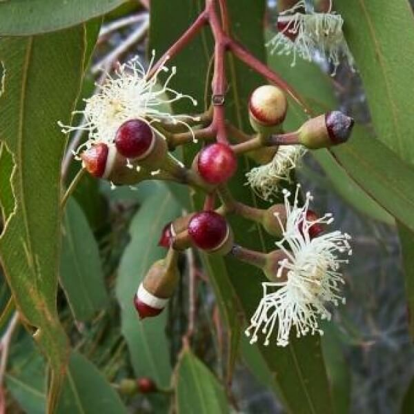 Corymbia maculata in flower
