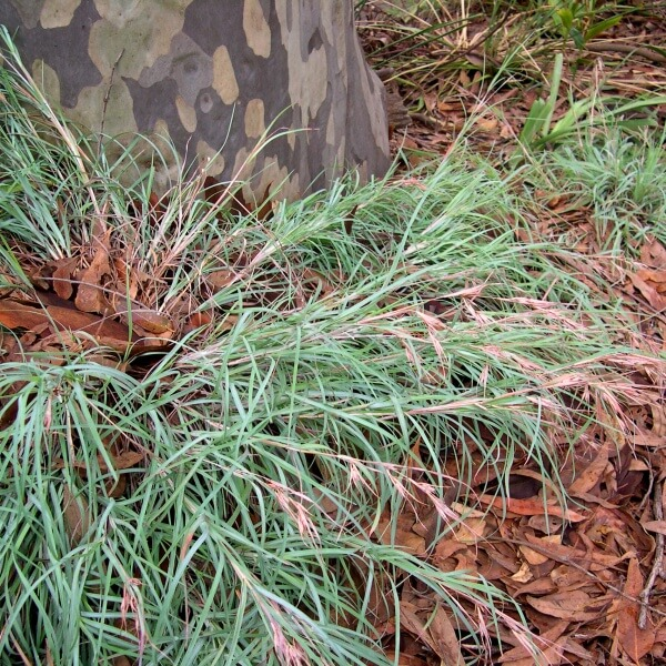 Mingo a low growing native grass that make an ideal ground cover.