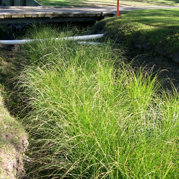 Carex used in a swale drain