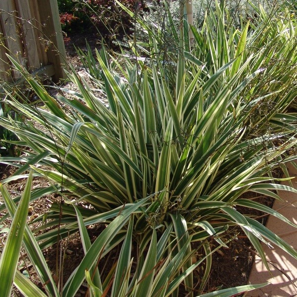 Dianella 'Silver Streak' adds a splash of colour to your garden.