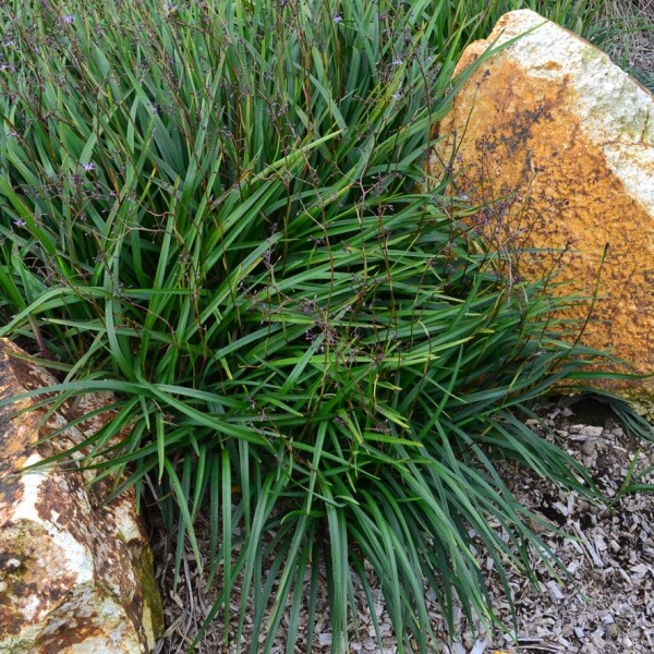 `Lucia` Dianella forms a sea of foliage over the ground making it an ideal groundcover plant