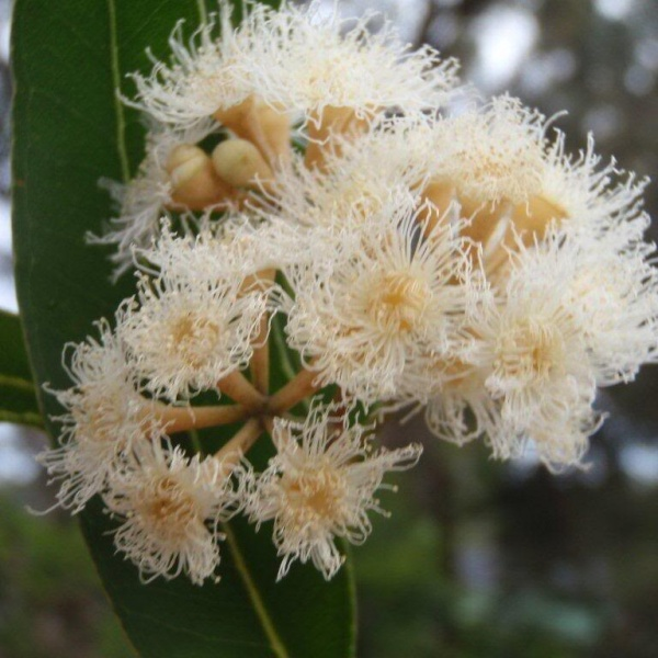 Eucalyptus microcorys, Tallow Wood in flower