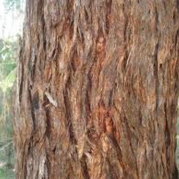 Eucalyptus microcorys fibrous bark