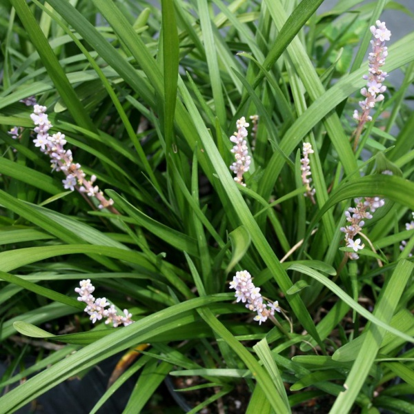 Liriope \\\'Evergreen Giant\\\' with purple flowers