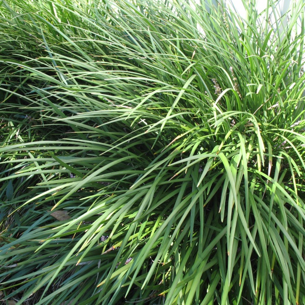 Liriope \\\'Evergreen Giant\\\' with masses of lush green foliage