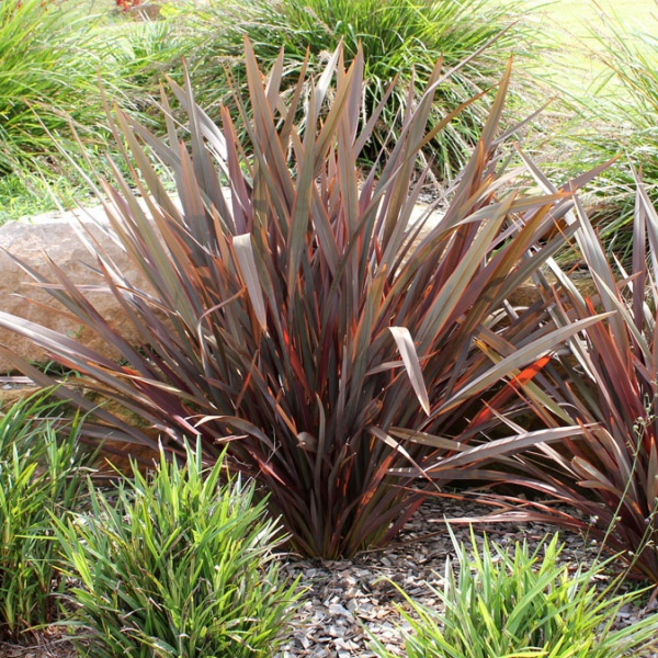 Flamin\' is a mid-sized plant ideal for small gardens.