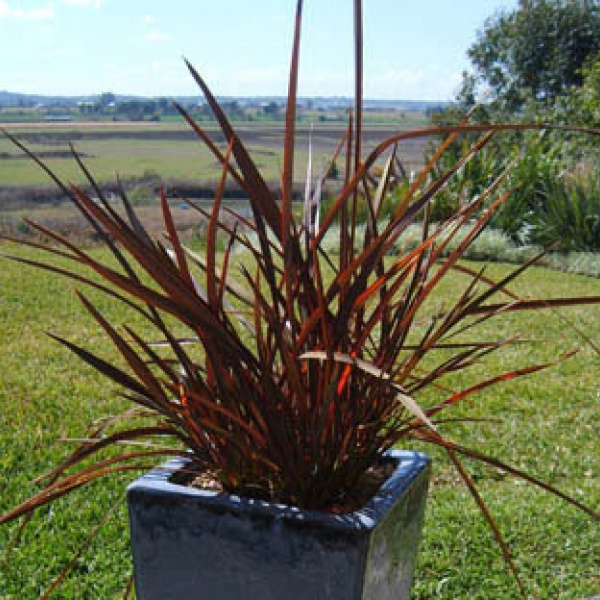 Flamin\' makes a great pot specimen. Plant in a contrasting coloured pot for a good effect.