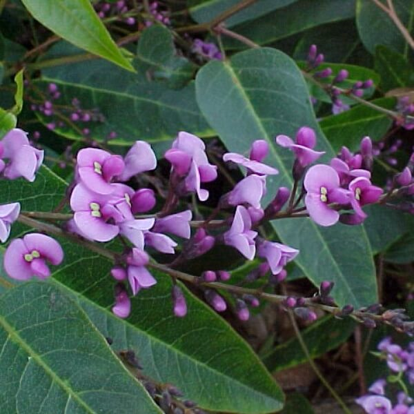 Happy Wanderer - Hardenbergia violacea