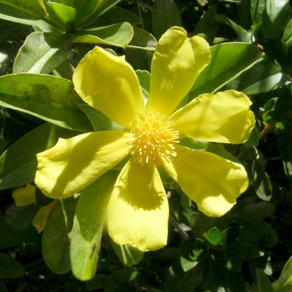 Hibbertia scandens with large flowers approx 7cm across
