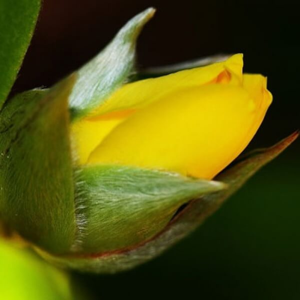 Hibbertia scandens flower in bud