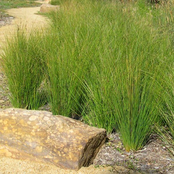 Juncus usitatus used in a garden setting