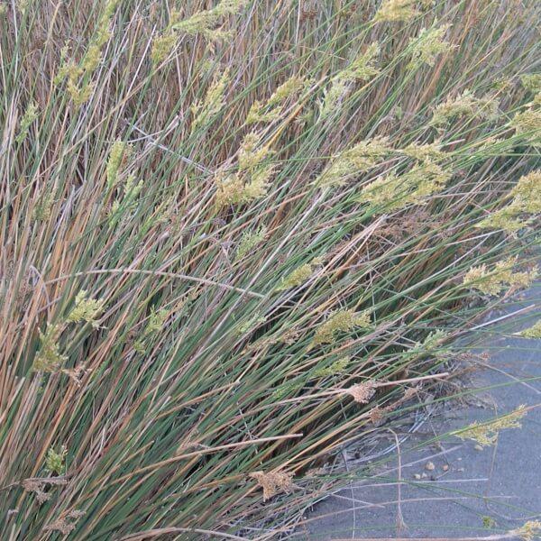 Buy tassel sedge on the plant hub for Ornamental grasses for ponds