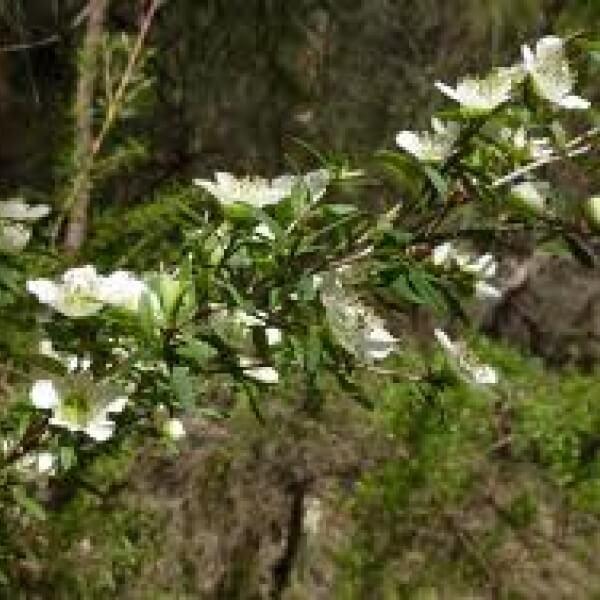 Leptospermum polygalifoium