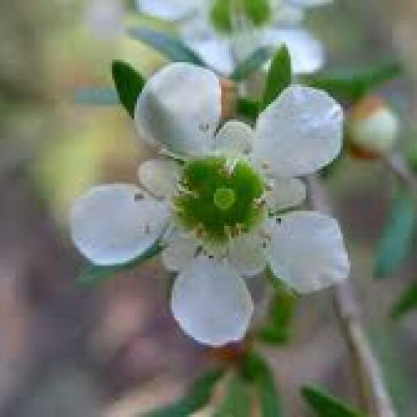 Leptospermum polygalifolium flower