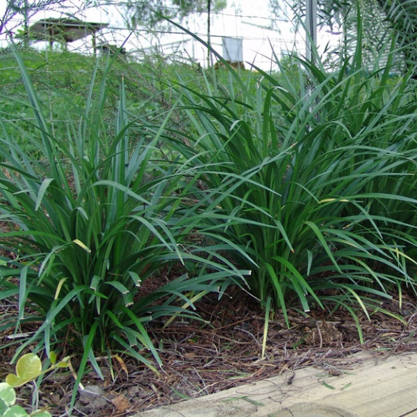 Liriope \'Just Right\' with evergreen strappy foliage.