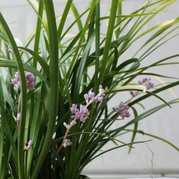 Liriope \'Just Right\' is a beautiful low maintenance garden plant.