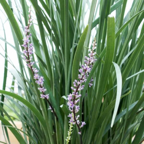 Liriope \'Just Right\' in flower