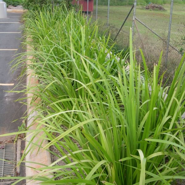 Lomandra hystrix ideal for borbers and informal hedges