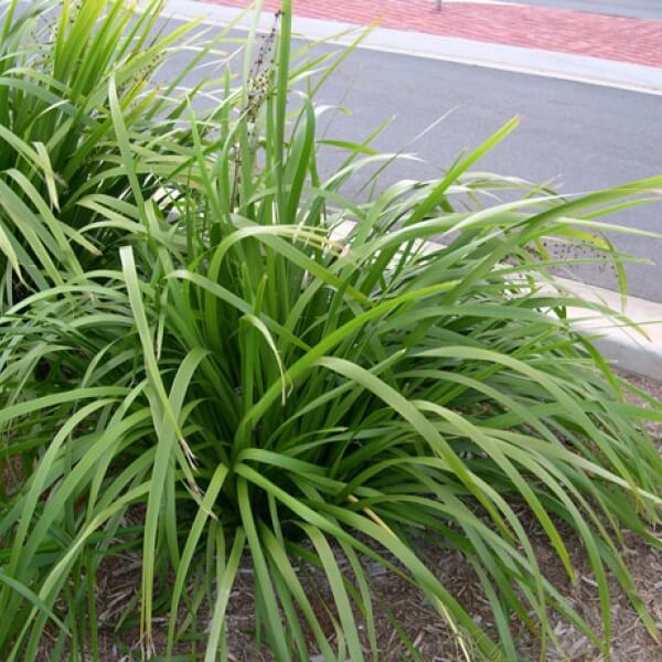 Lomandra hystrix beautiful clean foliage