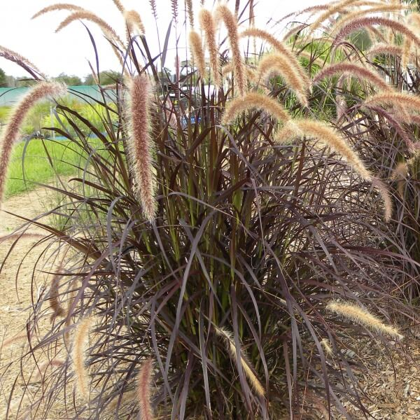 Buy purple fountain grass on the plant hub for Purple grass