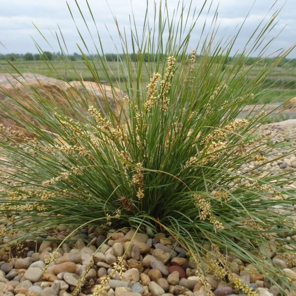Shara a fine leafed Lomandra to 50cm high.