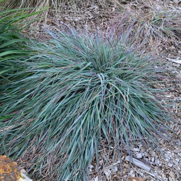 Themeda \'Mingo\' has beautiful blue foliage that contrasts well with other plants