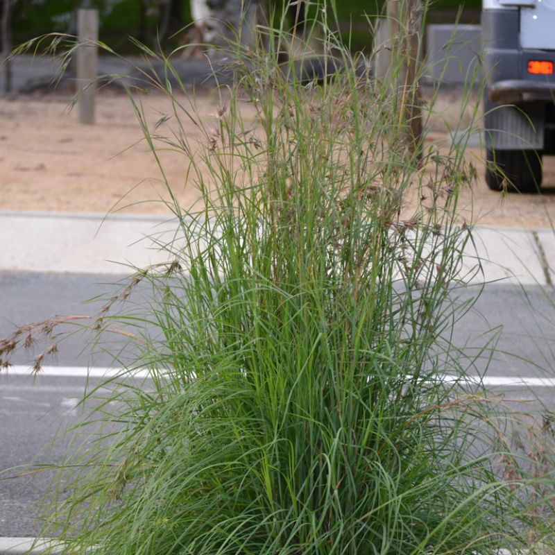 Big Blue Kangaroo grass can grow to 1.6 metres plus tall to the top of the flower heads