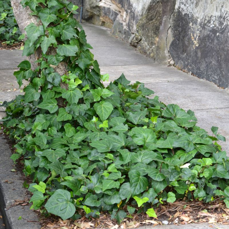 Canary Island Ivy makes a great dense groundcover