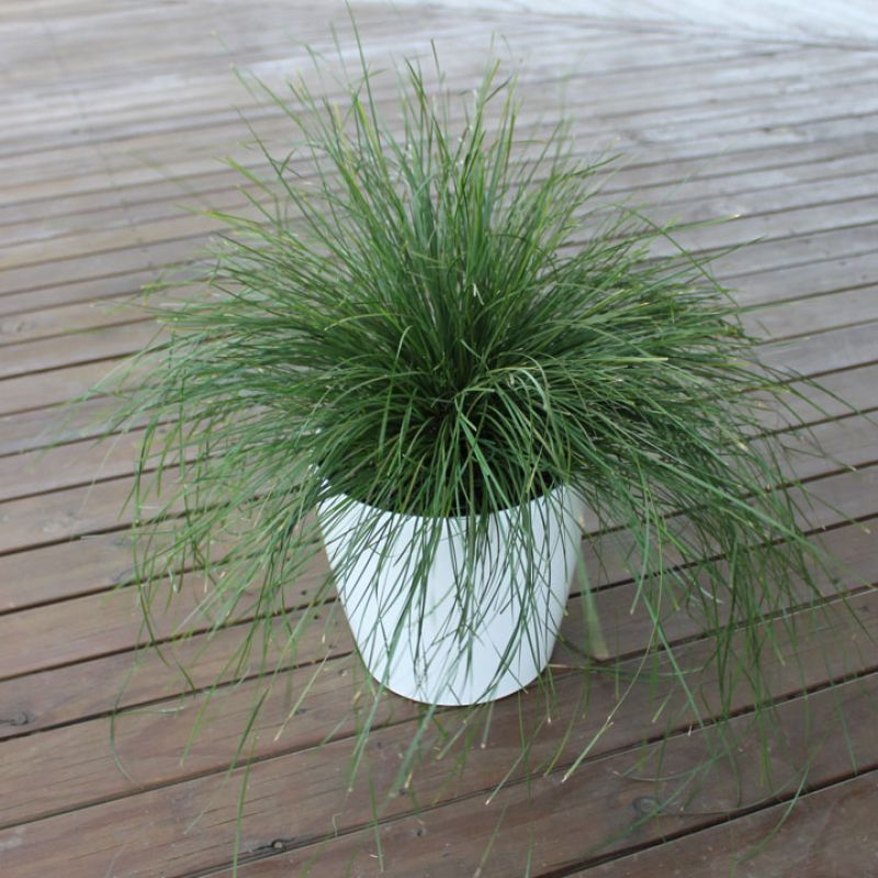 Lomandra `Evergreen Baby` is a dwarf growing native grass ideal for gardens from the coast to inland