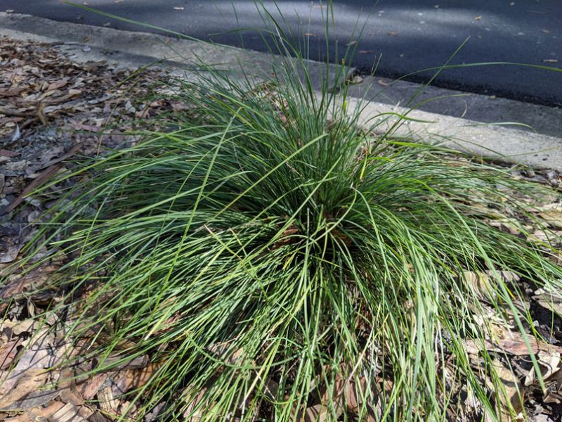 `Evergreen Baby` Lomandra is a hardy grass that will survive on natural rainfall once established
