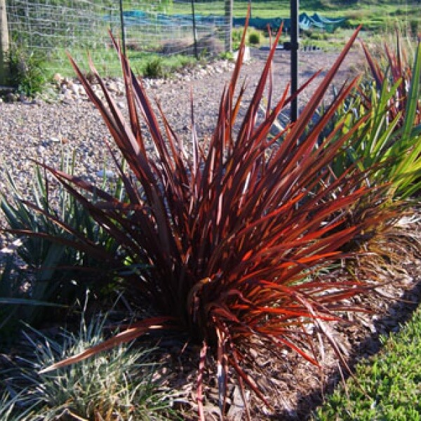Flamin\' with is vivid red foliage