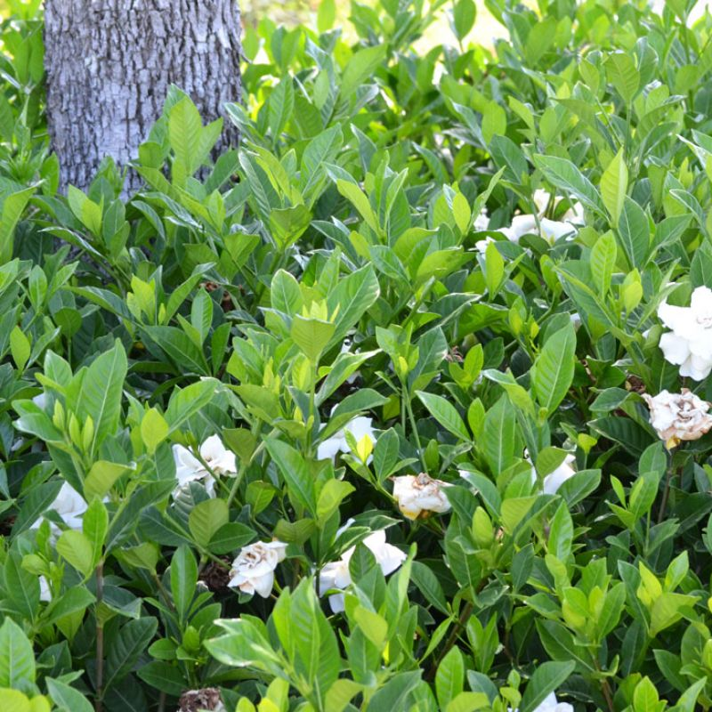 Medium sized shrub to 1 metre tall
