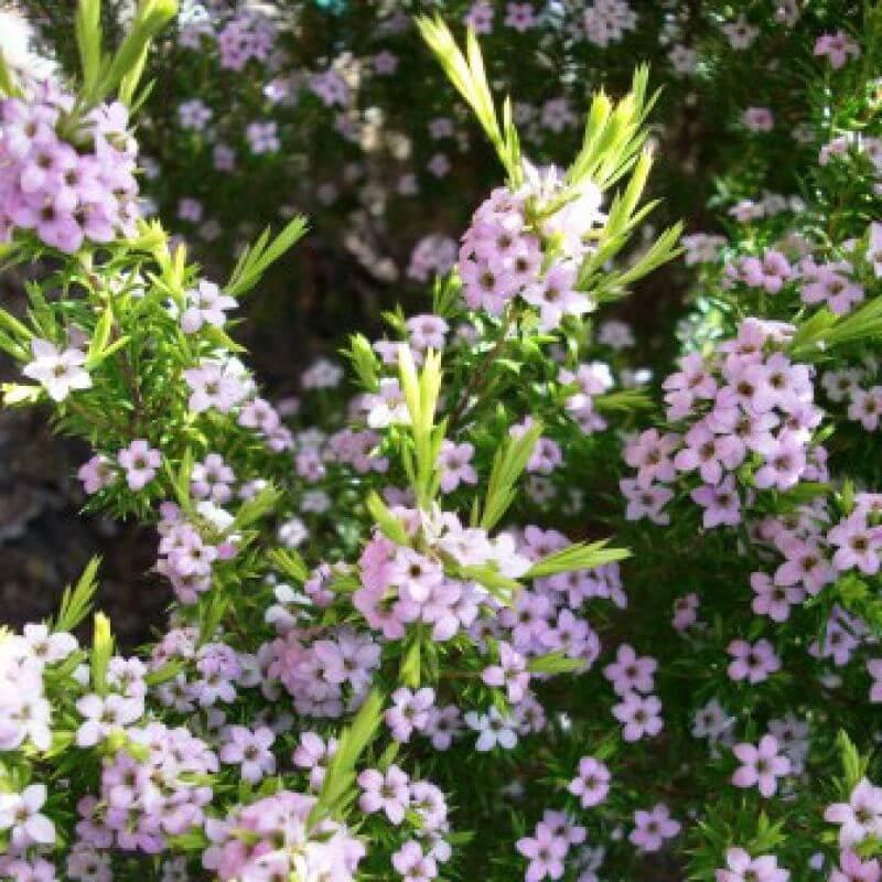 Buy Diosma On The Plant Hub