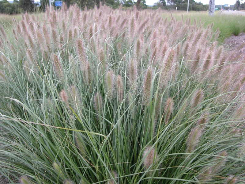 Native Grasses The Plant Hub