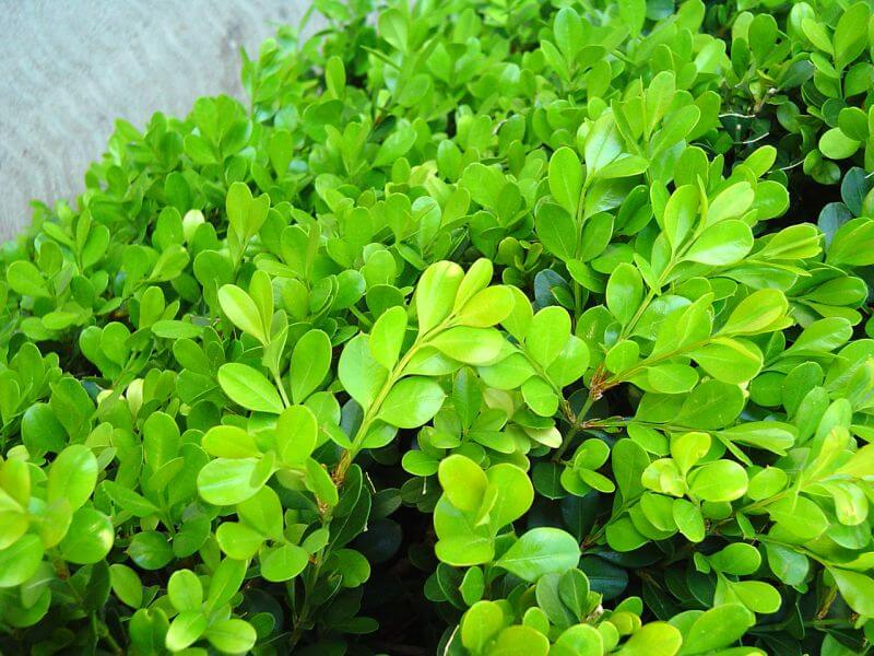Buxus has soft lime green foliage