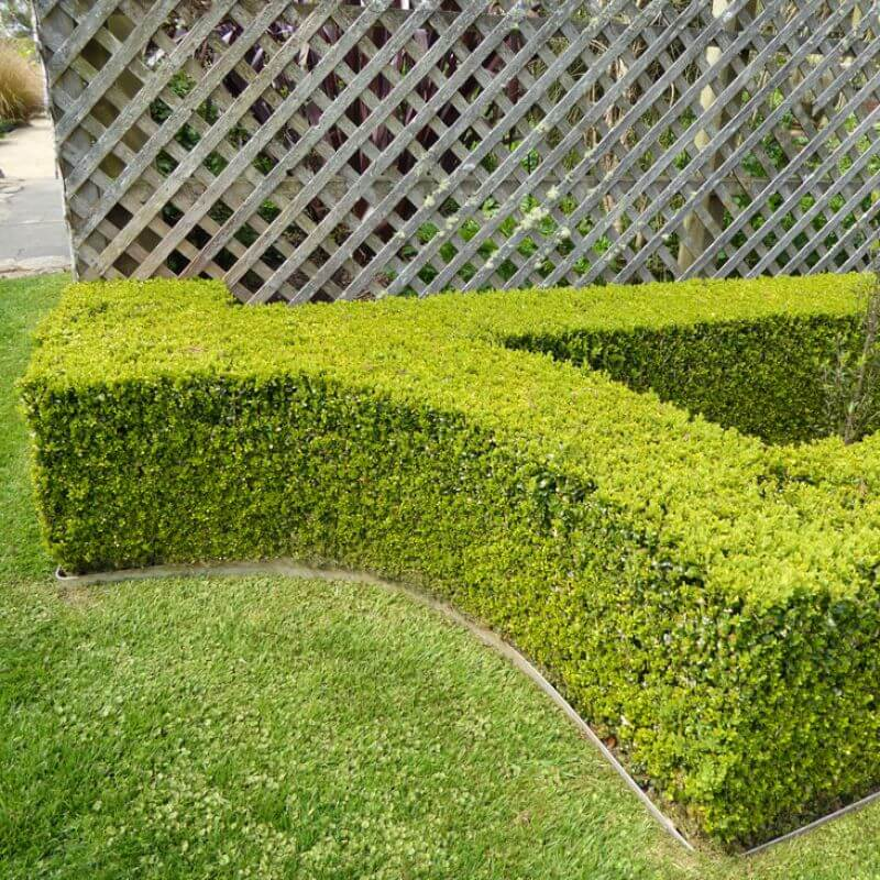 Japanese Box is ideal for small hedges