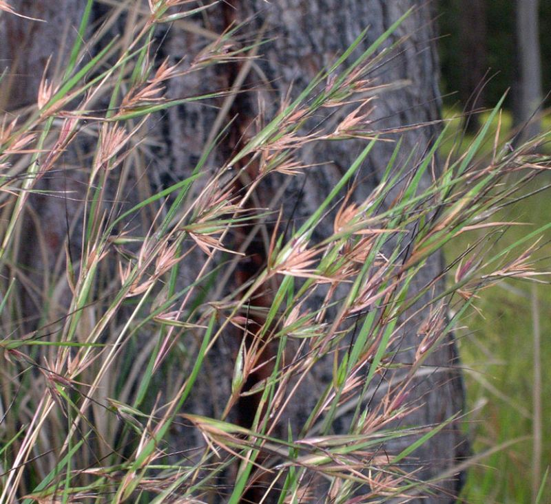 Themeda australis commly called Kangaroo Grass shown here in full flower