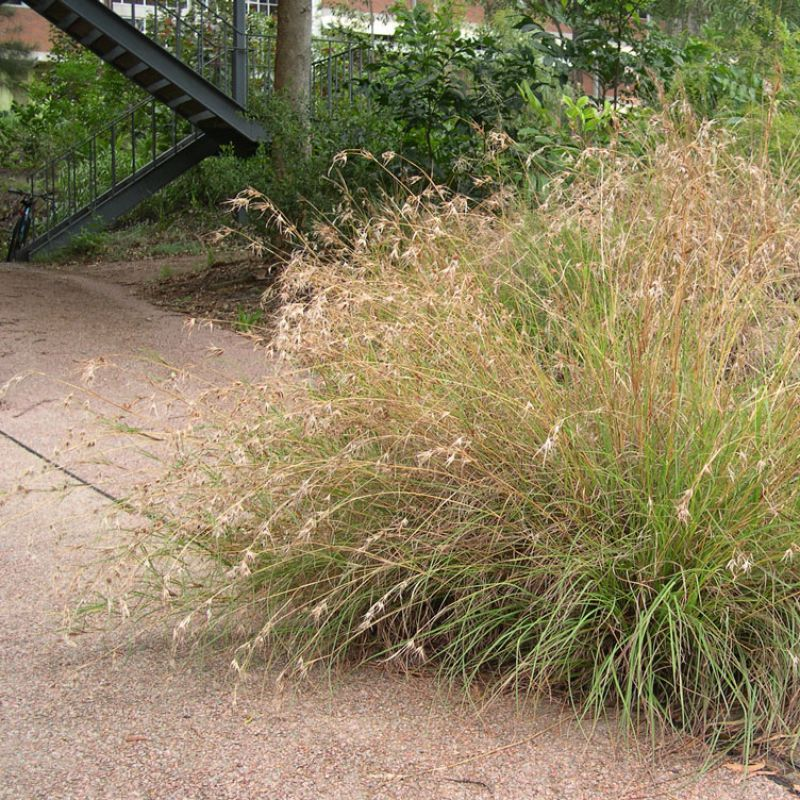 Kangaroo Grass enhances native gardens and makes a great back drop to other small native plants stylesda used in a native garden