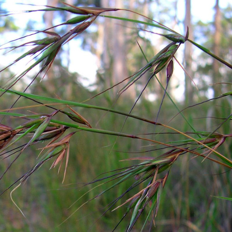 This picture shows a close-up of the Kangaroo grass flower head