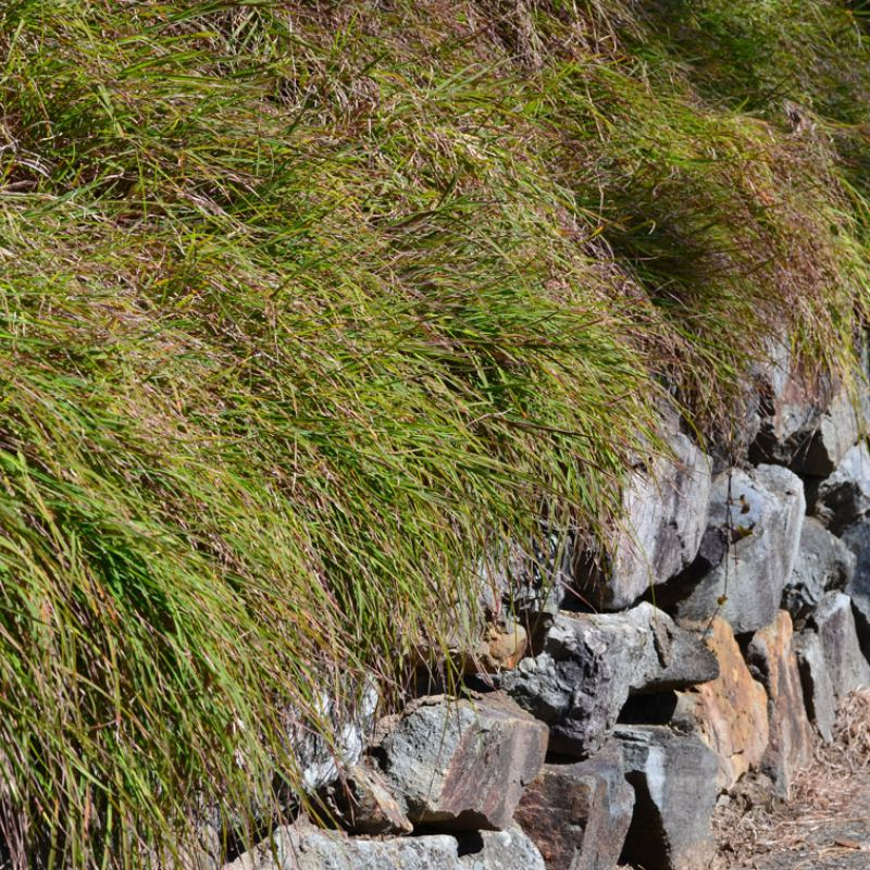 Kangaroo grass cascading over a rock retaining wall and is perfect for erosion control