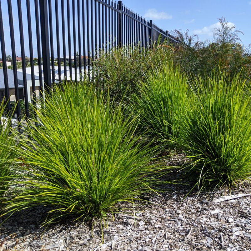 Lime Tuff looks grass planted in groups with space to see the full form of the plant