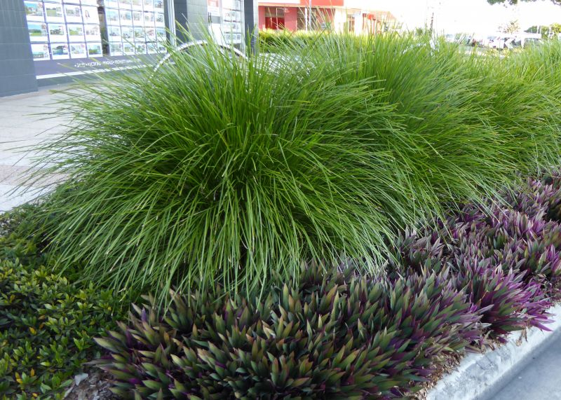 Lomandra `Lime Tuff` is a mid-sized grass with upright to weeping foliage