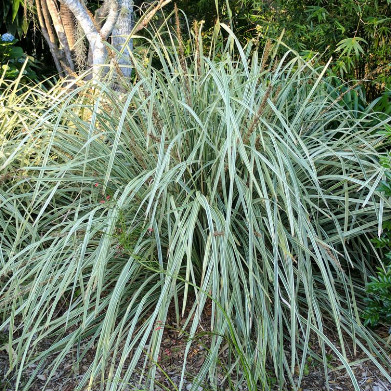 Lucky Stripe is a mid-sized Lomandra with variegated foliage that add a highlight to the garden