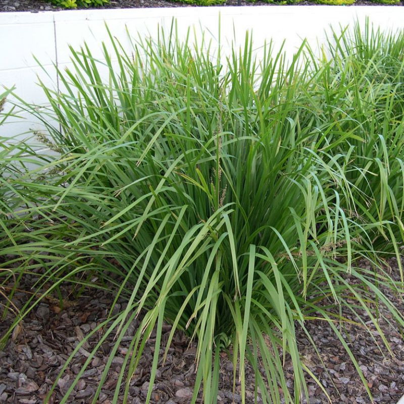 Lomandra longifolia ` Select Form` a large robust plant suited to a wide range of garden aspects