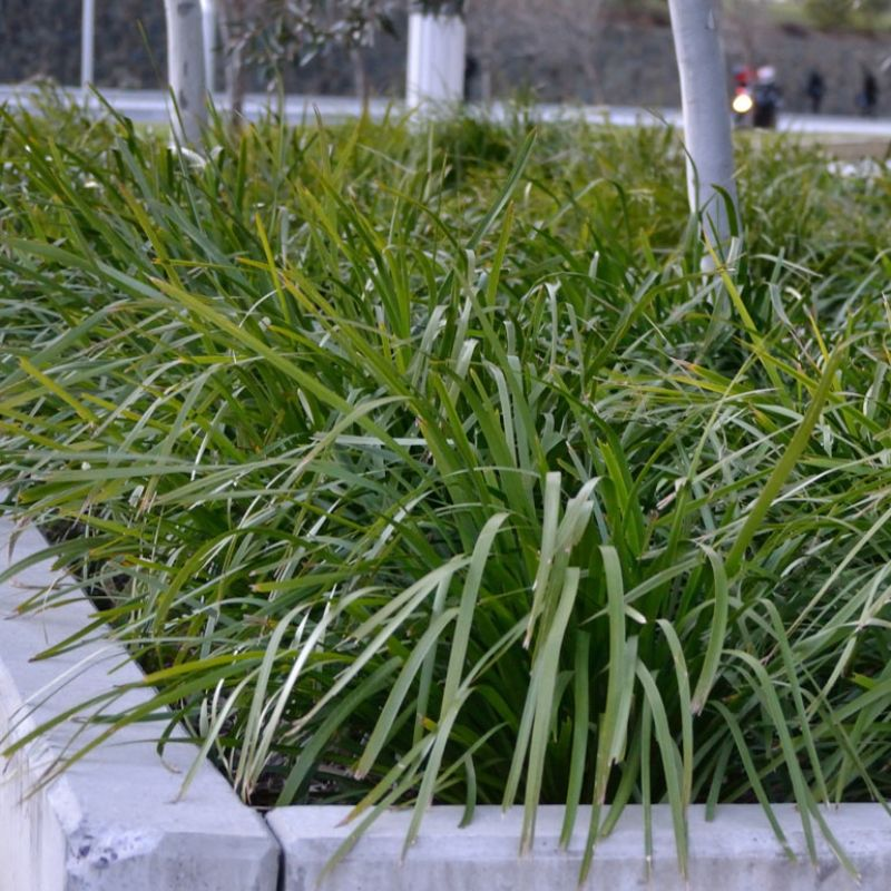 Lomandra longifolia `Select Form` has gently weeping leaves